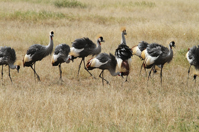 Flock of Crown Cranes - 30 in total