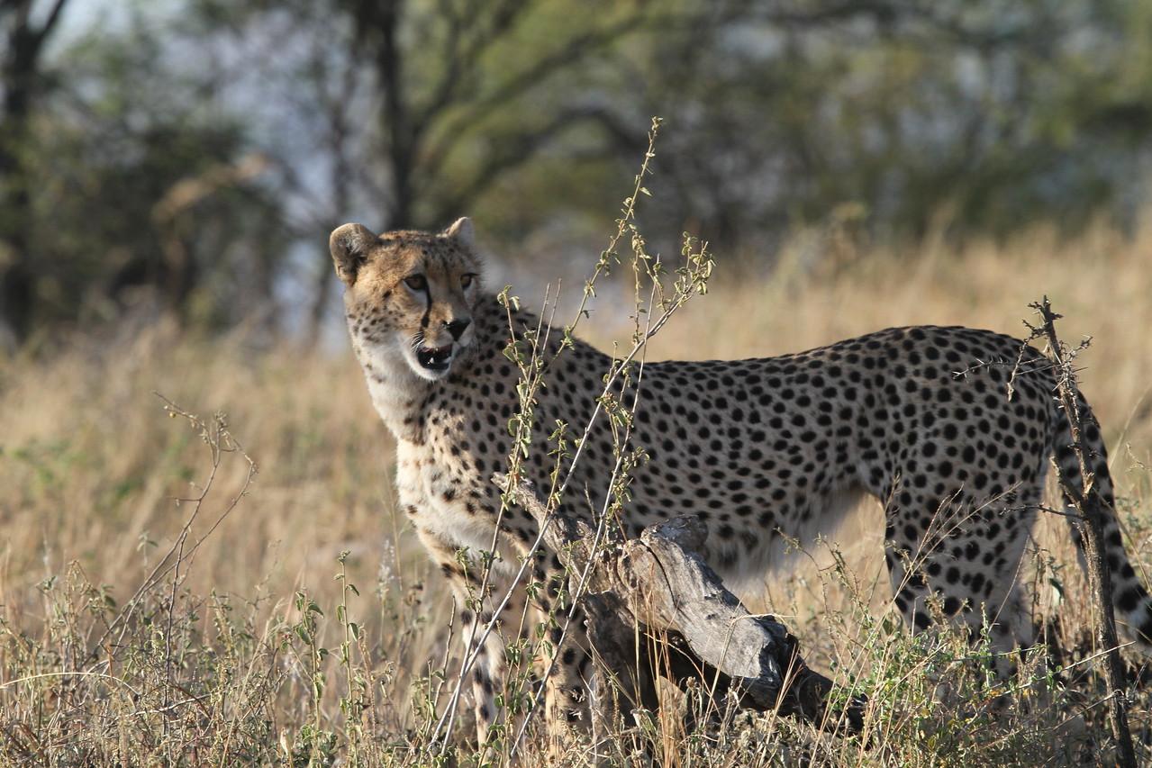 Cheetah, road to Fort Ikoma, Serengeti, June 2011