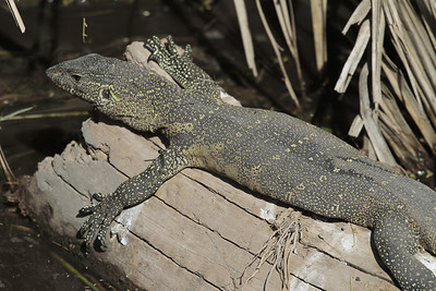 Water monitor beside hippo pool on new bridge over Seronera river (june 2011)