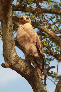 Tawny Eagle on track of road across northern Serengeti (june 2011)