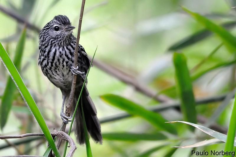 Drymophila malura<br /> Choquinha-carijó<br /> Dusky-tailed Antbird<br /> Tiluchí estriado - Takuari