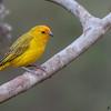 Sicalis flaveola<br /> Canário-da-terra<br /> Saffron finch<br /> Canario paraguay - Tuju