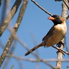 Saltatricula atricollis<br /> Bico-de-pimenta<br /> Black-throated Saltator<br /> Pepitero de corbata - Havía tyvyta hovajuva