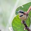 Melanopareia torquata<br /> Tapaculo-de-colarinho<br /> Collared Crescentchest<br /> Gallito nuca canela