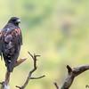 Parabuteo unicinctus<br /> Gavião-asa-de-telha<br /> Harris's Hawk<br /> Gavilán mixto - Taguato