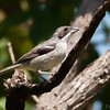 Neothraupis fasciata<br /> Cigarra-do-campo<br /> White-banded Tanager<br /> Tangará banda blanca - Tangara ñu