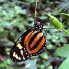 Tiger Mimic-Queen (Lycorea cleobaea)
