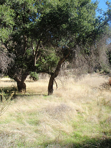 A look at more Oak Trees in the Ant Camp area.
