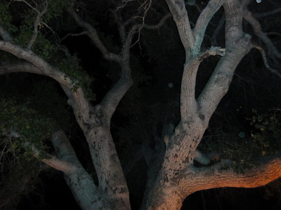 The glow of the fire on the giant oak tree.