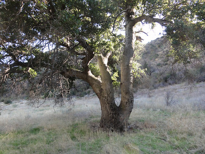 One of many great old oak trees in the area.