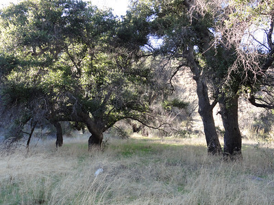 Oak trees in the Ant Camp area.