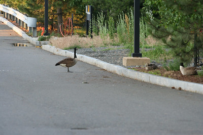 Sewer Geese