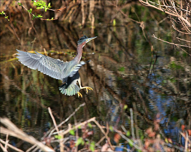 Green Heron in flight - © Jack Dallas