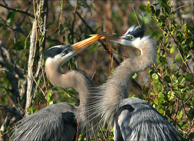 Great blue heron Ardea herodias Mating Pair - Female on right - ©Jack Dallas - Shark Valley 2006