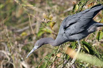 Little blue heron Egretta caerulea - ©Jack Dallas