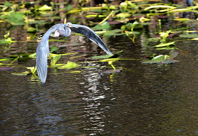 Little blue heron Egretta caerulea in Flight - some juvinile coloration - ©Jack Dallas