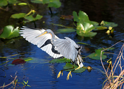 Little blue heron Egretta caerulea - in flight, landing ©Jack Dallas - Shark Valley 2006