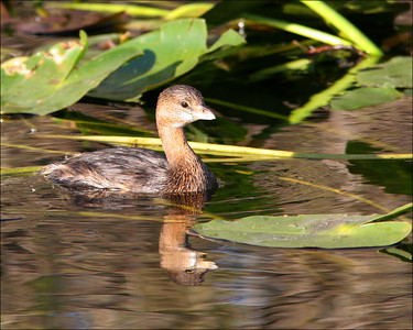 Pied-billed grebe Podilymbus podiceps - ©Jack Dallas