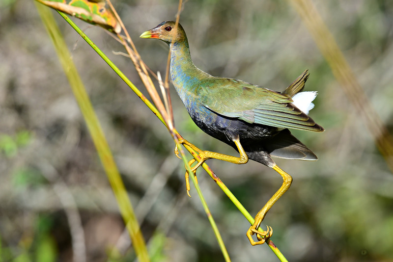Purple Gallinule  -  juvenile