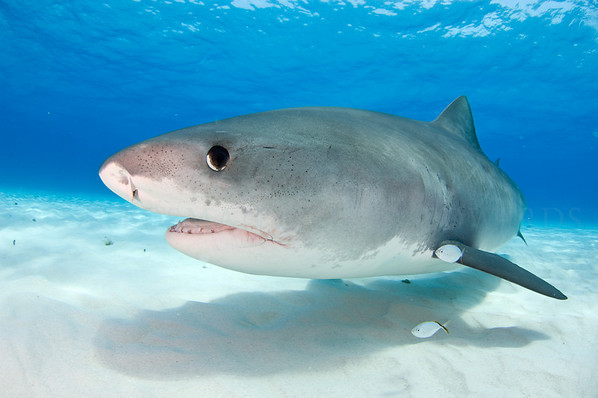 Tiger shark up close.
