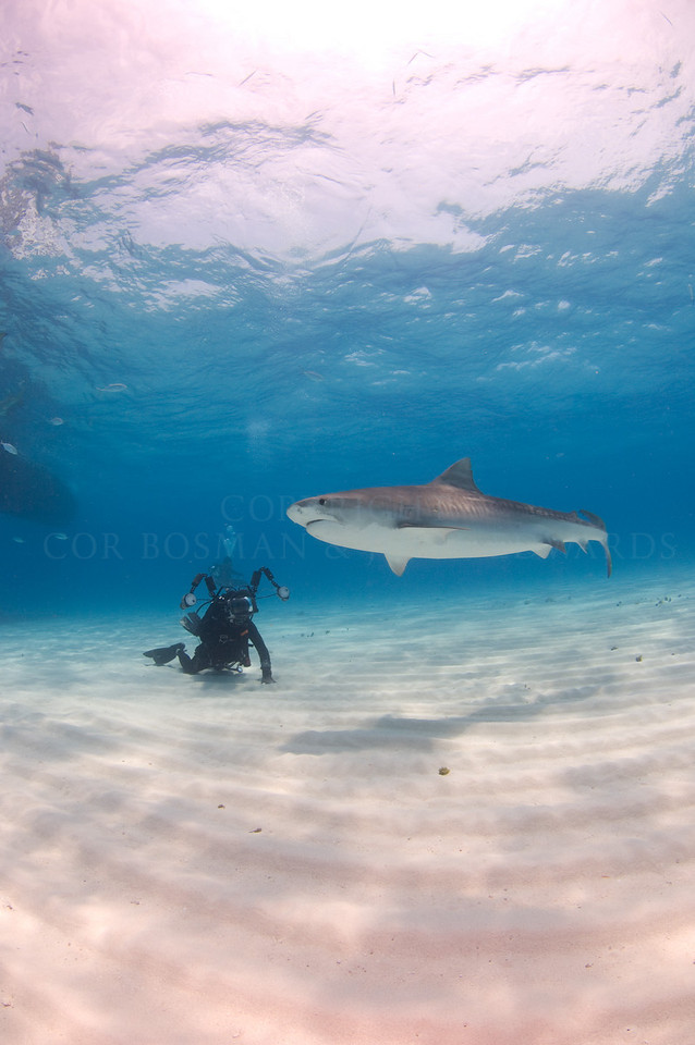 Tiger shark circling a photographer