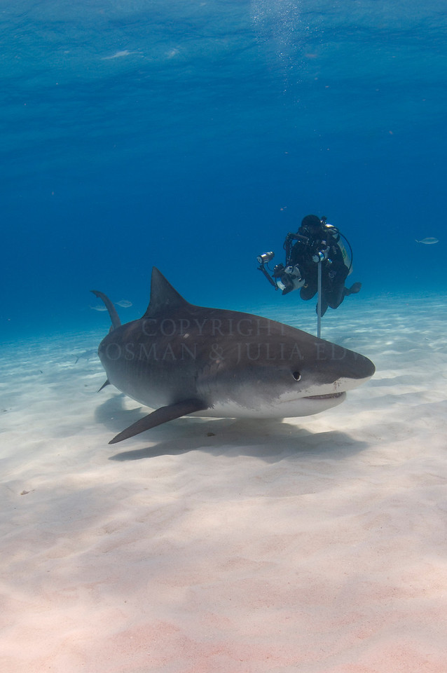 Tiger shark with diver
