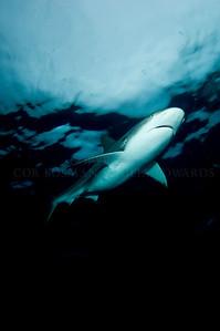 Lemon shark in the rain