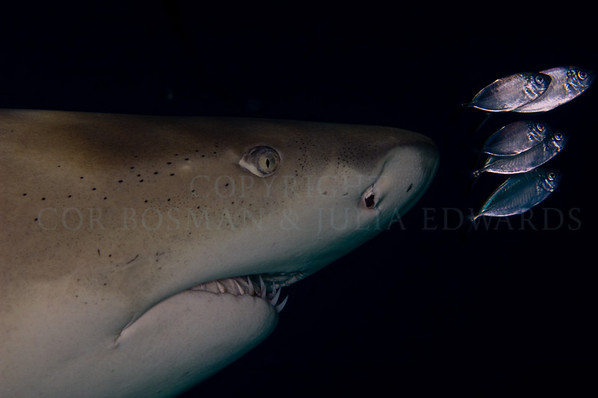 Lemon shark with pilot fish