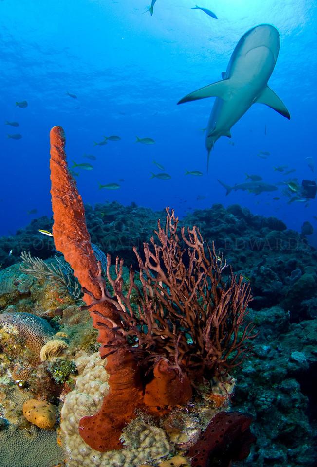 Shark on the reef