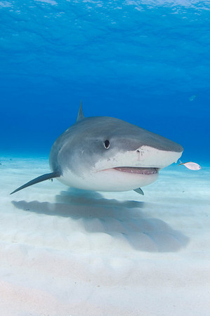 Tiger shark with pilot fish