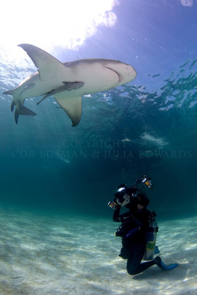 Lemon shark circling photographer