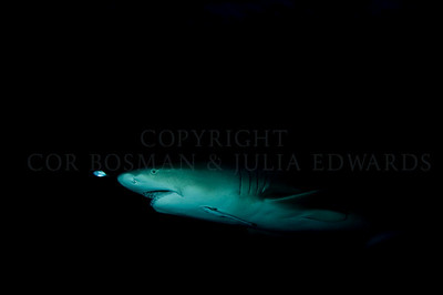 Lemon shark with pilot fish