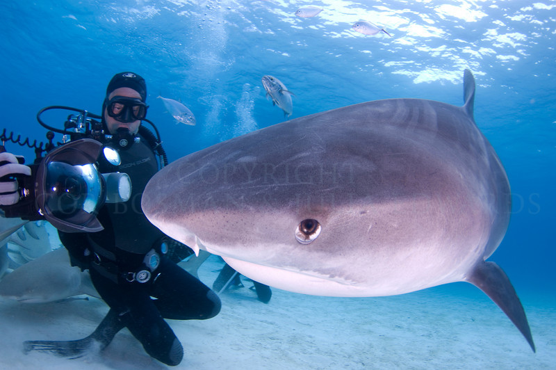 Doug taking a picture of a tiger shark up close