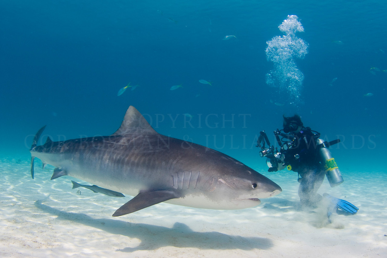 Tiger shark with markings