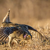 Courtship dance of the Sharp-tailed Grouse