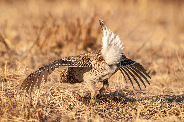 Sharp-tailed Grouse mating dance