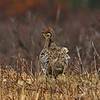 Male Sharp-tailed Grouse