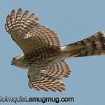 Sharrp-shinned Hawk - near Olympia, Wa