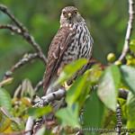 Sharp-shinned Hawk - near Olympia, Wa