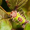 Saddleback Butterfly Caterpillar-1928