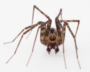 Sheetweaving Spider on Redwoods
