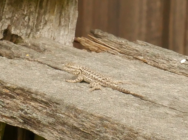 As I went through the gate out of the Open Space, I saw a lizard sitting on the fence.  Nice finish to my outing.