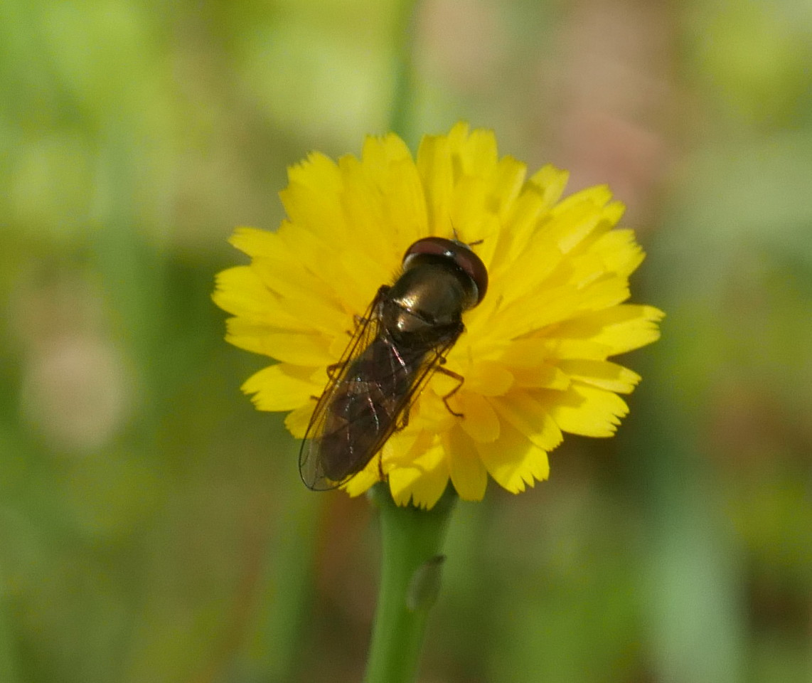 Microseris I think with a very bronze colored hoverfly.