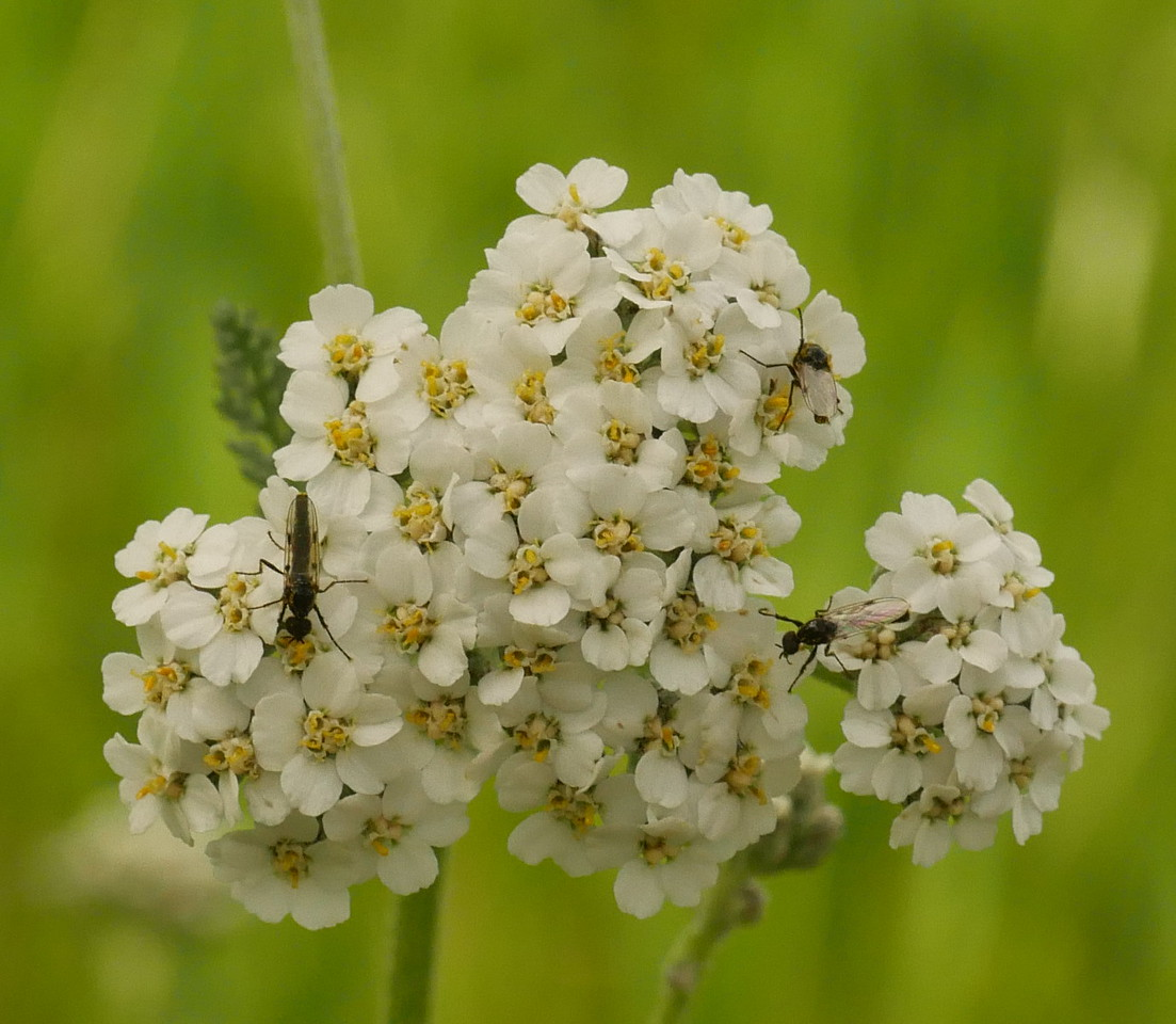 To my bare eyes, a yarrow flower head doesn't have a lot of detail.  A closeup photo reveals more detail and some insects visiting the flowers.