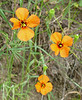 In addition to California poppies, these wind poppies are native in Shell ridge.