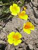 yellow poppies_P1100304