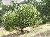 buckeye tree_P1100322