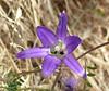 harvest brodiaea_P1100325