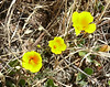 yellow poppies_P1100305