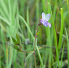fewflower blue eyed mary_P1090314